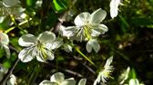 Blossom tree sky cherry branch close up blooming on wind Wideo