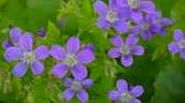 Wild Cranesbill in summer in shadow. Geranium pratense close up footage shooting static camera.