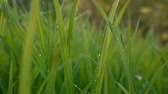 Green grass with drops macro beautiful background spring on wind. Video footage HD shootig static camera.