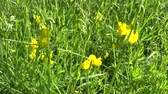 Rank grassland wild flower in the meadow. HD video footage panorama motion camera. Lathyrus pratensis