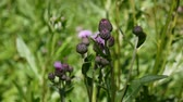 Creeping thistle or pink sow-thistle. Bloosoming Cirsium arvense video footage static camera.
