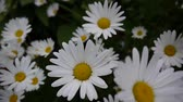 Daisies Growing on the Flowerbed video footage close up of flowers. Wideo