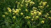 Yellow flower of rape. Winter cress. Brassicaceae. Static camera.