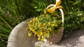 Basket with the collected grass St. Johns wort in the field on the burlap. Harvesting of medicinal plants in summer. Static camera. Wideo