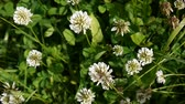White clover flover in the field. HD video footage static camera.