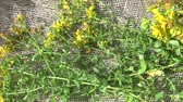 St. Johns wort grass collected in the field on the burlap. Harvesting of medicinal plants in summer. Panorama motion camera with steadicam. Wideo