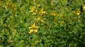 St. Johns wort, medicinal plant with flower in the field. Wideo