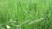 Green grass in summer field motion subjective camera shutting footage Wideo