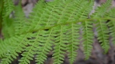 Video of fern leaves swaying in the forest.. Athyrium filix