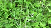 Plantago major green wild plant, plantain, medicinal plant. HD video footage shooting with steadicam. Slow motion panorama of vibrant leafs close up.