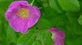 Pink flower wild rose closeup. Video footage by a static camera. Wideo