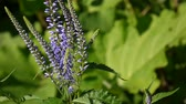 Veronica longifolia. Wild flower in the field. Video footage static camera. Wideo