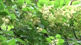 Linden leaves and flowers with wind blowing close up. Tilia.