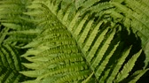 Video of male fern leaves swaying in the forest. Dryopteris fílix-mas.
