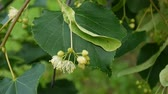 Hazelnuts on the branch close up. HD video footage.