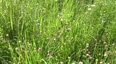 Meadow grass close up using steadicam. The camera movement. Wideo