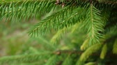 Young green fir tree branch moving in the light wind breeze. Closeup. Wideo