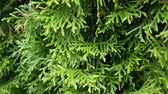 White cedar Thuja occidentalis branches. HD video footage shooting static camera.