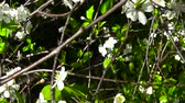 Blossoming branch of a cherry with the George ribbon. The concept for the holiday on may 9. The day of victory. HD Video footage motion camera.