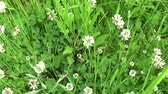 White clover flover in the field. HD video footage motion camera shooting HD video. Panorama.