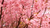 blooming : Blooming pink sacura trees. Cherry trees blooming. Stock Footage