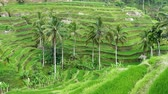 pretty : Rice terraces. The island of Bali. Indonesia.