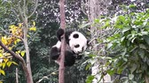 giant panda : Giant panda baby over the tree Stock Footage