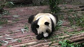 giant panda : giant panda bear Stock Footage