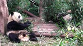 chengdu panda : giant panda bear Stock Footage