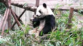 raro : Baby of Giant panda bear