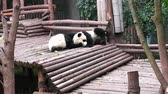 chengdu panda : Baby of Giant panda bear