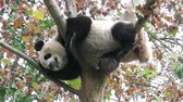 giant panda : The giant panda is sleeping on the tree Stock Footage