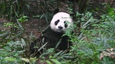 miś : Giant panda eating bamboo