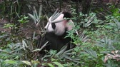 giant panda : Giant panda eating bamboo