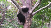 chengdu : Giant panda hanging on a tree