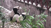 chengdu panda : The giant pandas