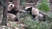 chengdu : The giant pandas