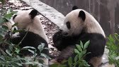 miś : The giant panda bears Wideo
