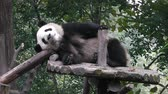 giant panda : The giant panda bears Stock Footage