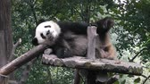 raro : The giant panda bear