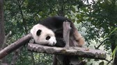 giant panda : The giant panda bear