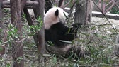 chengdu : The giant panda bear