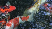 ploutve : Koi fish in the pond