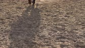 mocný : Close-up view on the hooves of the two horse which is slow going through the dusty field at sunset. Slow motion. Dostupné videozáznamy