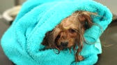 jorkšírský : Close-up of a wet Yorkshire terrier wrapped in a blue towel on a table at a veterinary clinic. Care and care of dogs. A small dog was washed before shearing, shes cold and shivering. Slow motion.