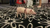 гороскоп : Little cute pig on the carpet in the circus. A man holds a little pig on a leash, a pig shows a show in front of children.