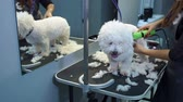 ветеринар : A female veterinarian trimming a small white fluffy Bichon Frize doggie with an electric clipper in a modern veterinary clinic. Hair salon for dogs. Veterinary clinic. Стоковые видеозаписи