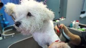 bichon frise : Woman vet dry the wet fur of the dog in the veterinary clinic. Bichon Frise do haircut and grooming in the beauty salon for dogs. Stock Footage