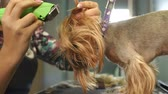 table styling : Veterinarian trimming a yorkshire terrier with a hair clipper in a veterinary clinic. Female groomer haircut Yorkshire Terrier on the table for grooming in the beauty salon for dogs. Slow motion. Stock Footage