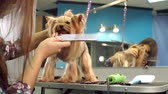 table styling : Close-up of a veterinarian combing hair of a Yorkshire terrier, slow motion. Close-up of professional groomer combing little Yorkshire terrier.